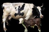 Ультразвуковое оборудование для коров