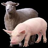 Ультразвуковое оборудование в свиноводстве и овцеводстве